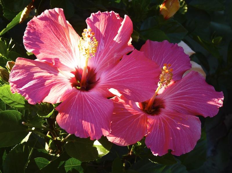 hibiscus twins